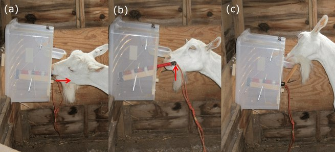 Коза потянула рычаг (А), подняла его (В) и наслаждается плодами своего труда (С). Источник: E. F. Briefer / Frontiers in Zoology