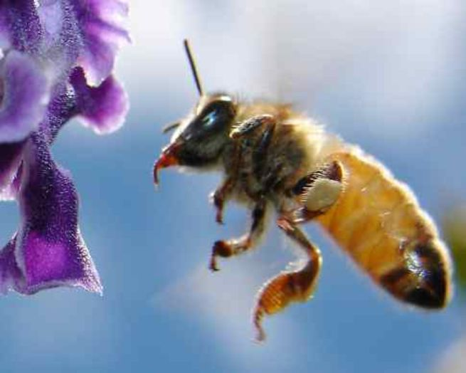 Пчелы понимают, что они умны. Фото: aussiegall / По лицензии Creative Commons