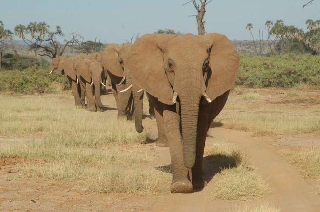 Слоны могут различать языки. Фото: Шифра Голденберг