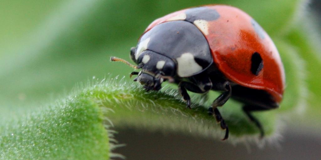 Ladybug on Plant Stem