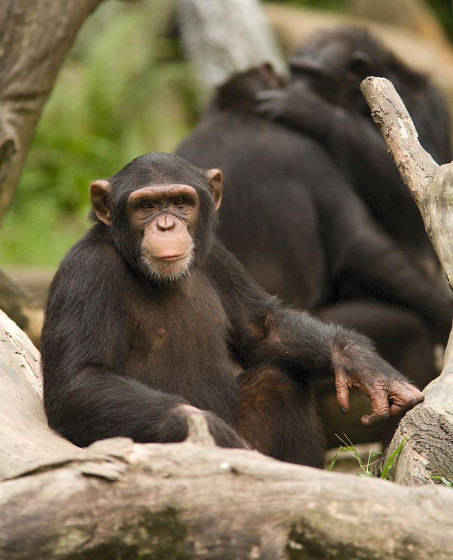 Некоторые тесты на память шимпанзе выполняют гораздо лучше людей. Фото: Чи Кинг / Flickr